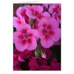 Peppermint Pink Geranium 2