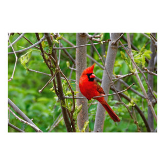 Perched Male Northern Cardinal Photo Print