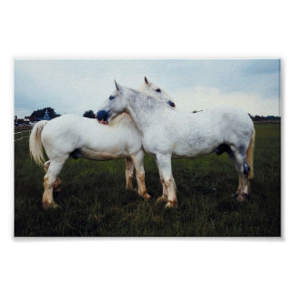 Percherons Grooming Each Other Poster