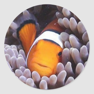 Percula Clownfish Classic Round Sticker