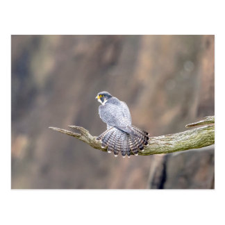 Peregrine Falcon at the Palisades Interstate Park Postcard