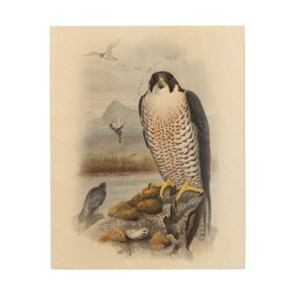 Peregrine Falcon John Gould Birds of Great Britain Wood Prints