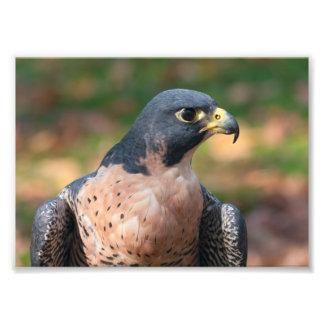 Peregrine Falcon Profile Photo Print