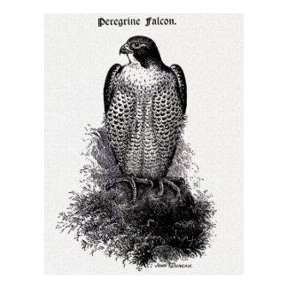 Peregrine Falcon Vintage Bird Illustration Postcard
