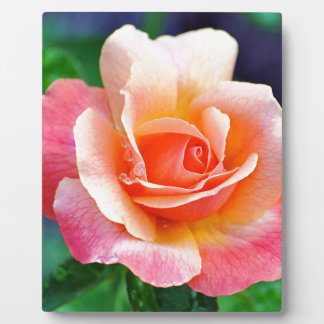 Perfect Rose in Bloom Photo Plaques