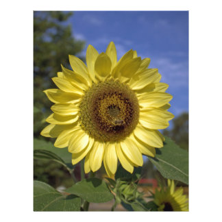 Perfect summer yellow sunflower in blue sky. 21.5 cm x 28 cm flyer