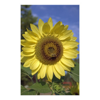 Perfect summer yellow sunflower in blue sky. flyers