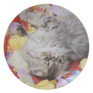 Persian Cat, Felis catus, Brown Tabby, Kitten, 2 Dinner Plate