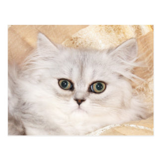 Persian kitten face postcard