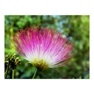Persian Silk Tree Flower Poster