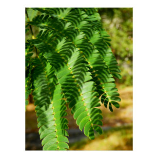 Persian Silk Tree Leaves Poster
