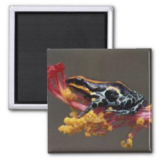 Peru, Peruvian Rain Forest. Poison Arrow Frog Square Magnet