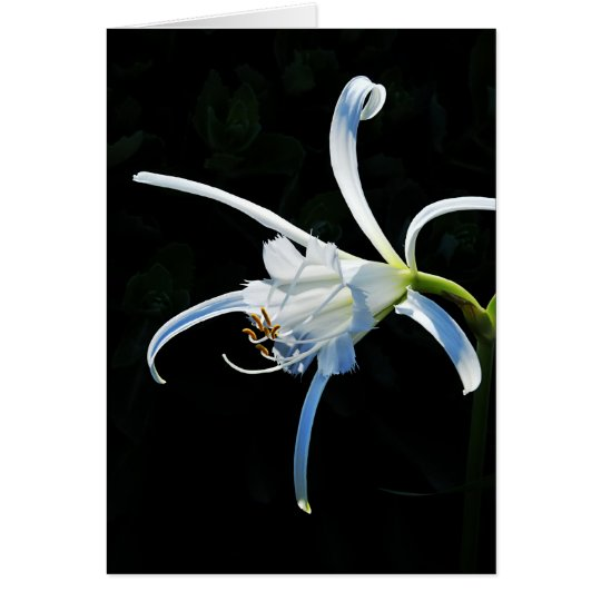 Peruvian Daffodil White Ribbons Card