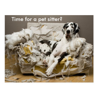 Pet Sitter Great Dane on Chewed Sofa Postcard