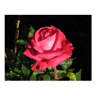 Peter Frankenfeld Hybrid Tea Rose 001 Postcard