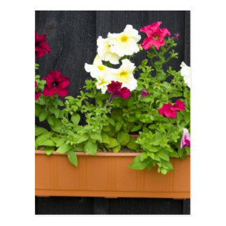 Petunias Hanging In The Pot On The Wooden Wall Post Card