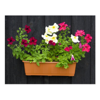 Petunias Hanging In The Pot On The Wooden Wall Postcard
