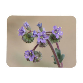 Phacelia Purple Wildflowers Magnet