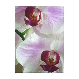 Phaleonopsis Orchids Canvas Print