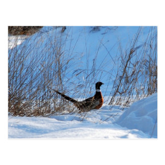 pheasant in the evening postcard