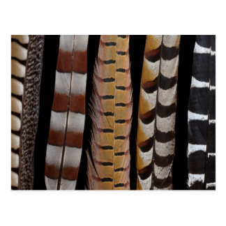 Pheasant tail feathers postcard