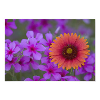 Phlox and Indian Blanket near Devine Texas Photographic Print
