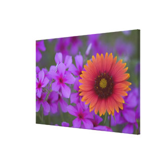 Phlox and Indian Blanket near Devine Texas Stretched Canvas Print