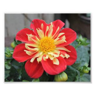 Photo Enlargement - red flower yellow stamen