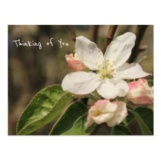 "Photo of Apple Blossoms in Sun: ""Thinking of You"" Postcard"