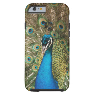 Photo of Beautiful Peacock with Spread Feathers Tough iPhone 6 Case