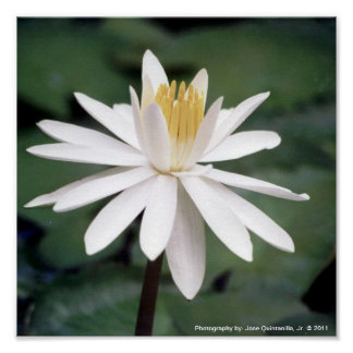 Photo of Hawaiian Water Lilly Poster