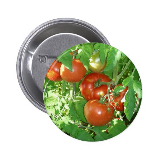 Photo of ripe red tomatoes on the vine. pinback buttons