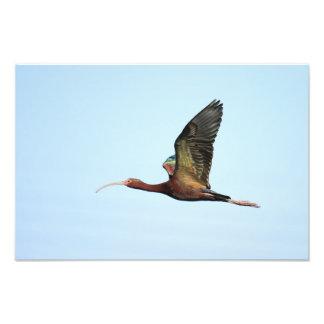 Photo Print - White-faced ibis over Gilbert