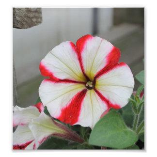 Photo - red and white calibrachoa flower