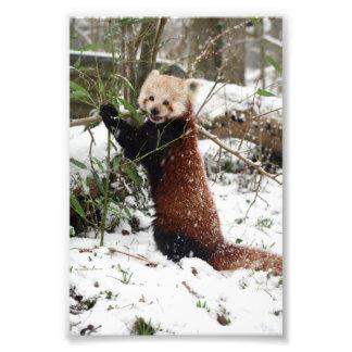 Photo - red panda