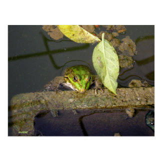 Photograph of frog watching postcard
