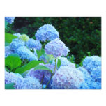 Photographic Canvas Prints Blue Hydrangea Flowers