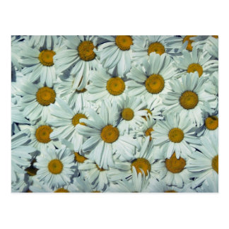 Picture of Daisies Post Card