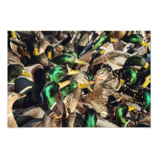 Picture of Ducks in a Crowd Photo Print