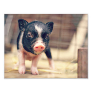 Piebald Pig puppy for Pig Lovers Art Photo