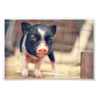 Piebald Pig puppy for Pig Lovers Photo Art