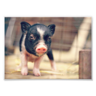 Piebald Pig puppy for Pig Lovers Photo Print