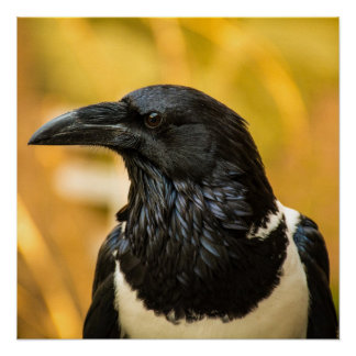 """Pied Crow 20"""" x 20"""", Poster Paper (Semi-Gloss)"""