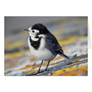 Pied Wagtail Greetings Card