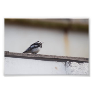 Pied Wagtail Photo Print
