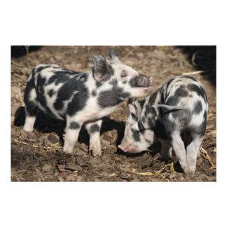 Pig Art Photo