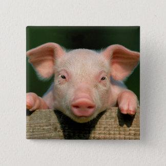 Pig farm - pig face 15 cm square badge