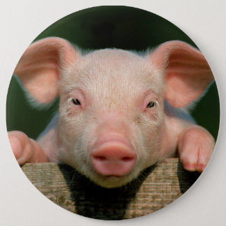 Pig farm - pig face 6 cm round badge