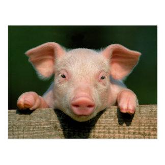 Pig farm - pig face postcard