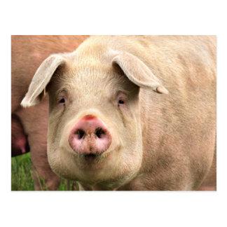 Pig had postcard